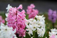 Hyatinthen in rosa und weiß