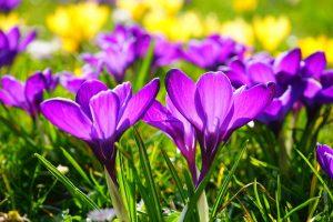 Krokusse in lila
