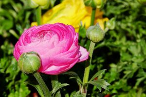 Ranunkeln in pink-rosa