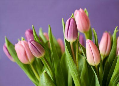 Tulpen - klassische Frühlingsblumen