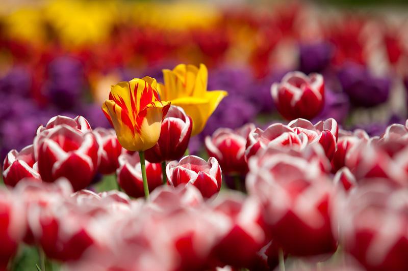 Tulpen in rot und orange